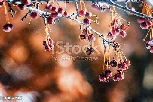 Des fruits sur une branche d'arbre en hiver.