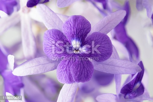 Close up the corollas of Blue Petrea or Purple wreath (Petrea volubilis) flower blooming, morning light. Petrea volubilis flower corollas