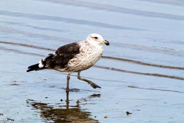 Pétrel des oiseaux pataugeant dans les eaux peu profondes du port - Photo