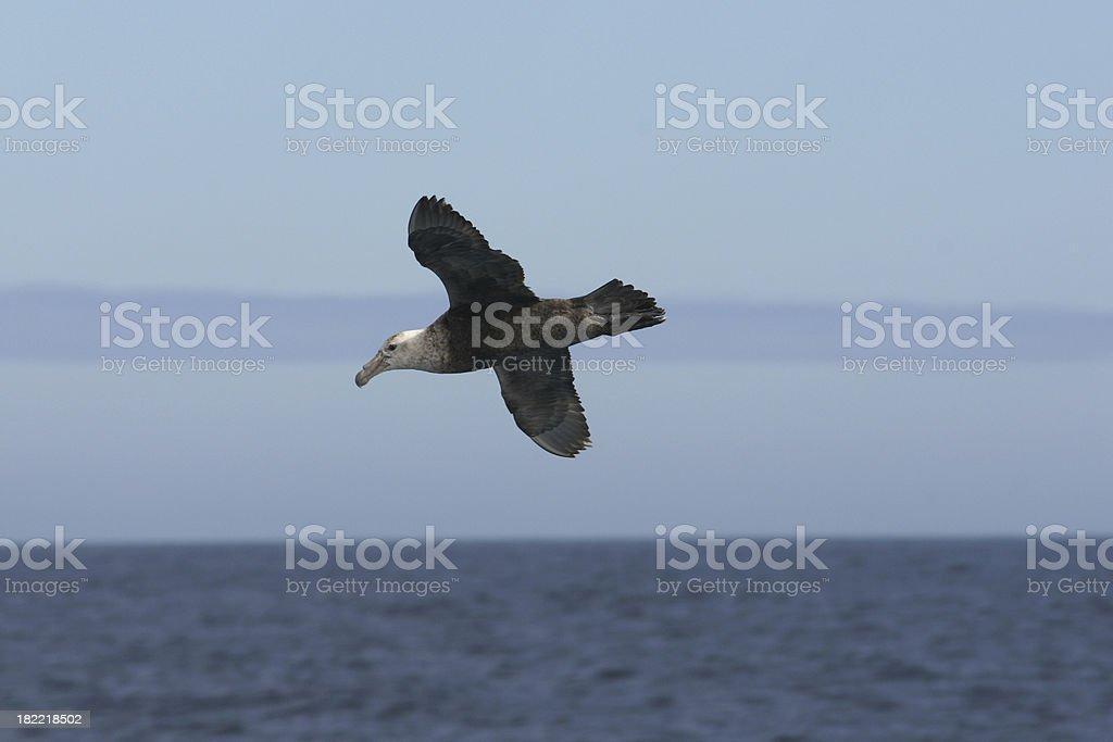 Petrel in flight stock photo