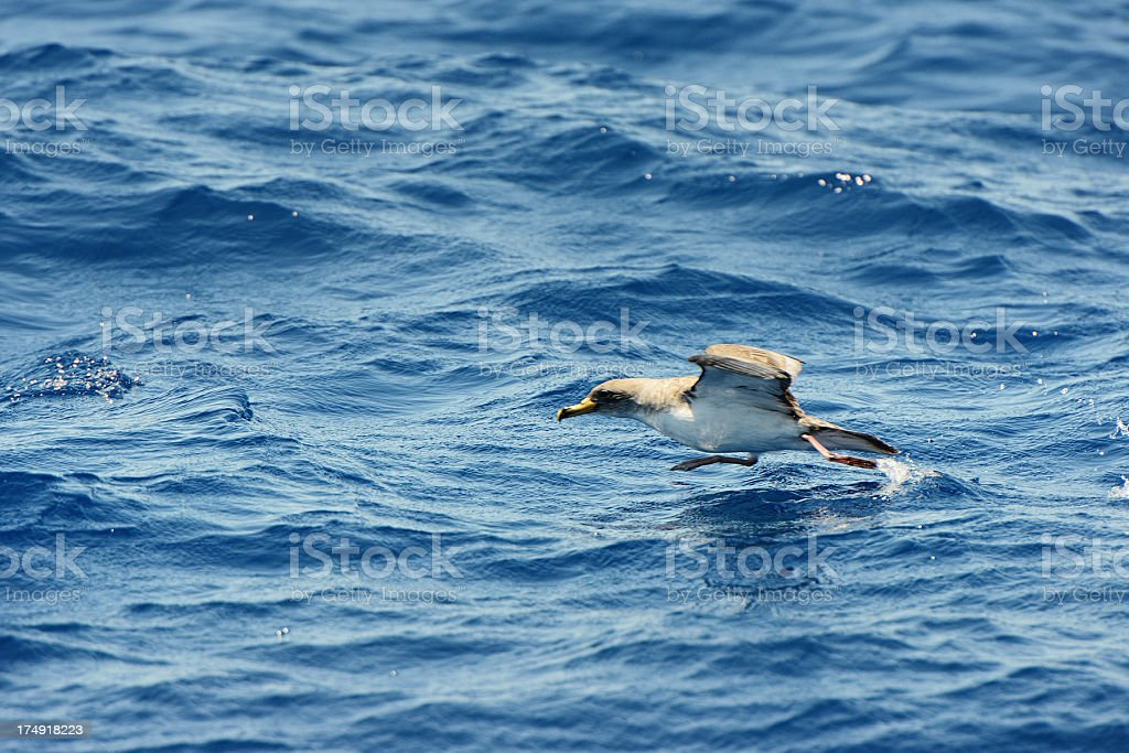 Petrel starts from the water surface to air stock photo