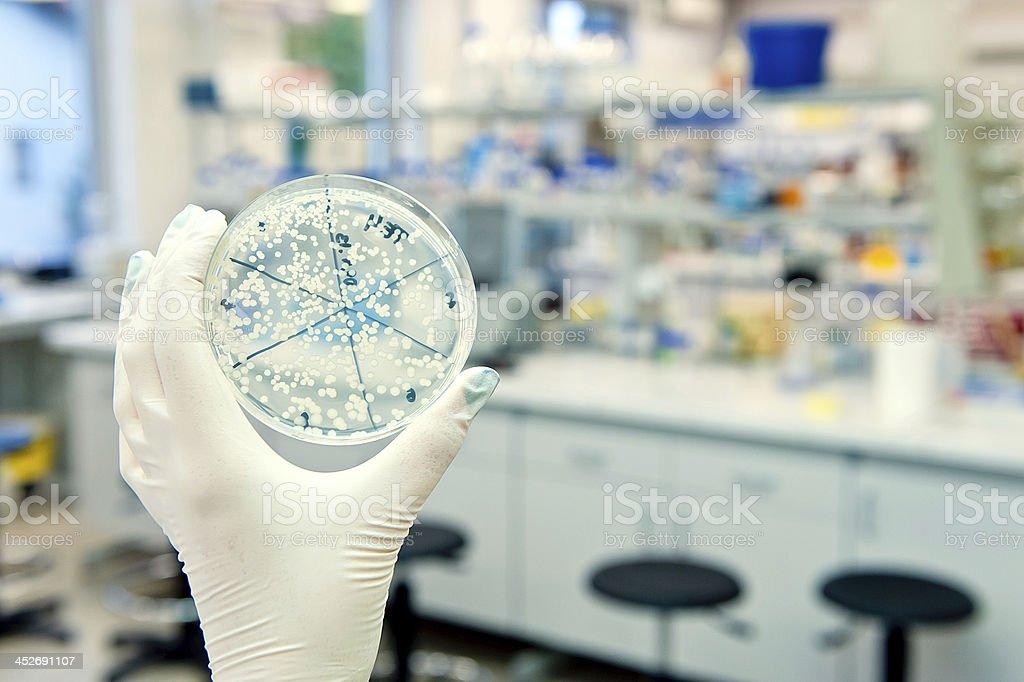Petri dish in laboratory royalty-free stock photo