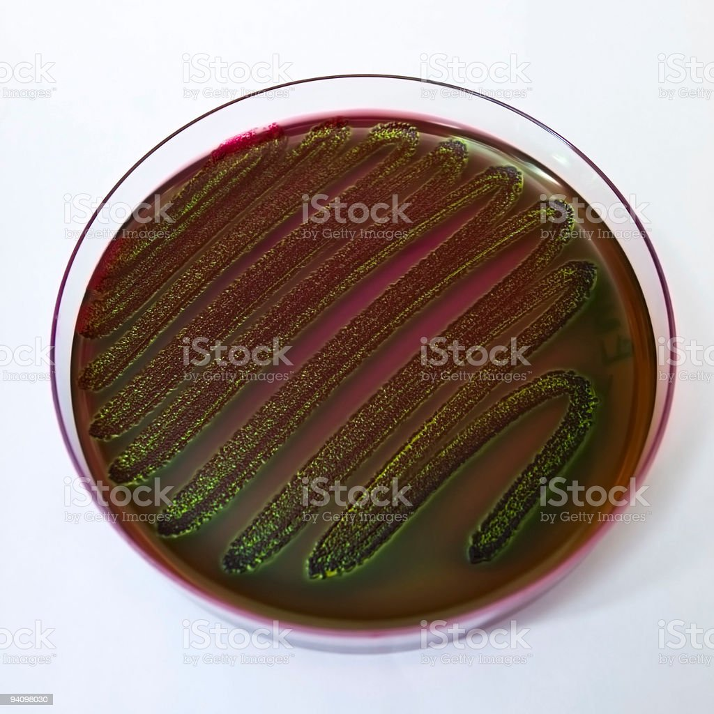 Petri dish with bacteria royalty-free stock photo
