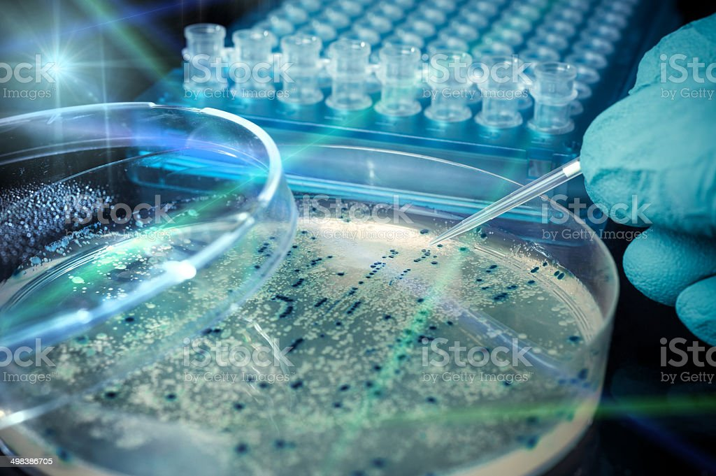 Petri dish with bacterial colonies stock photo