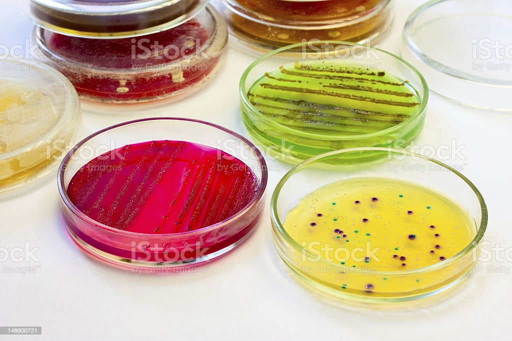 Petri dishes with bacterial colonies stock photo