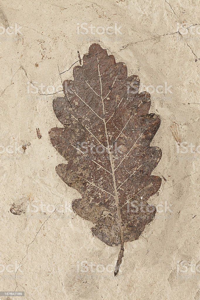 Petrification of a leaf stock photo