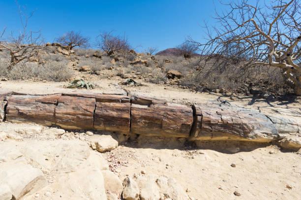 versteinerte und mineralisierten baumstamm im berühmten petrified forest national park in khorixas, namibia, afrika. 280 millionen jahre alten wald, änderung klimakonzept - namib wüste stock-fotos und bilder