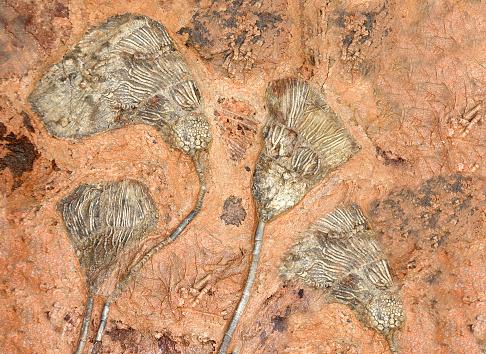 Petrified fossil crinoids (sea lilies, featherstars) in stone
