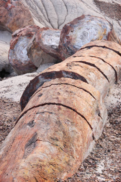 Petrified Wood Triassic Period Log Fossils stock photo