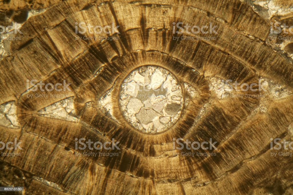 Petrographic thin section of a Nummulite limestone under the microscope stock photo