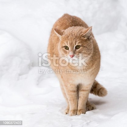 Pets. A red cat in the winter outside in the snowfall sits among the snowdrifts in snowy weather.