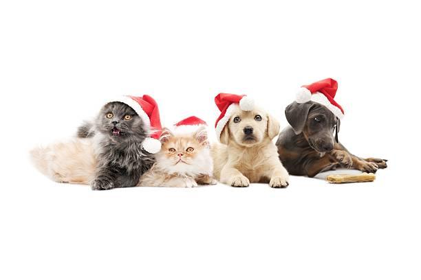 haustiere santa claus - katze weihnachten stock-fotos und bilder