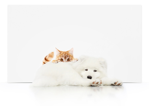 pets store signboard with cat and dog together on white background blank template and copy space