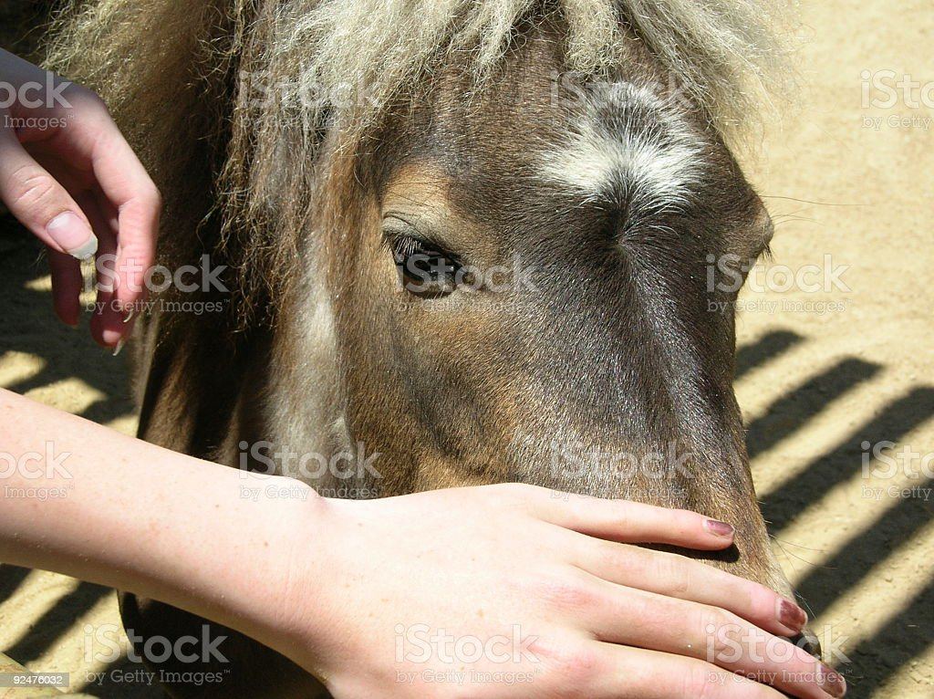 Petting a miniature horse royalty-free stock photo