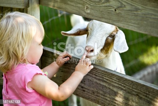 Young toddler meeting a goat kid for the first time.