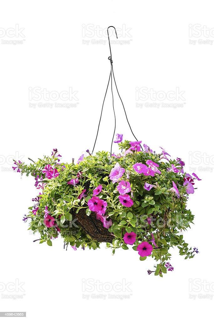 Petunia flower stock photo