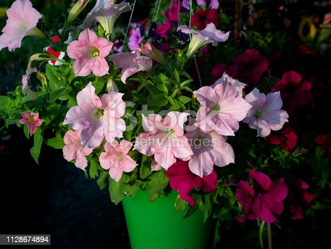 901386728 istock photo Petunia Flowers Hanging on Pots 1128674894