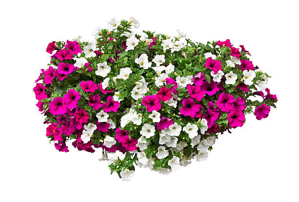 Petunia flowers isolated with clipping path included picture id577329736?b=1&k=6&m=577329736&s=612x612&w=0&h=9xsx9ua rwsoe llgr0wrtgg2ntamasawomhuibsm2a=