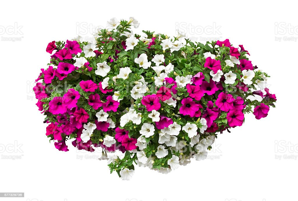 petunia flowers isolated with clipping path included - Photo