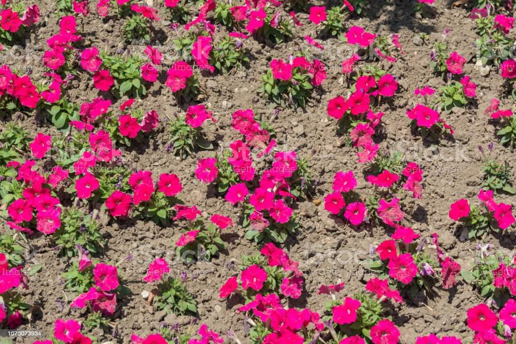 Petunia Flowers On A Flower Bed Stock Photo Download Image Now Istock