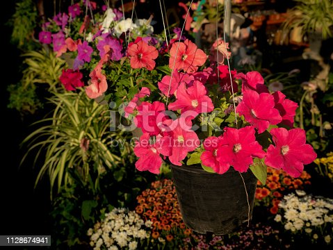 901386728 istock photo Petunia Flowers on Pots Hanging 1128674941