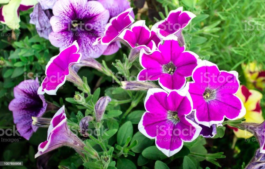 Petunia flowers stock photo