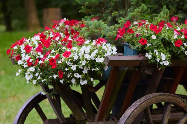 fleurs de pétunia - Photo