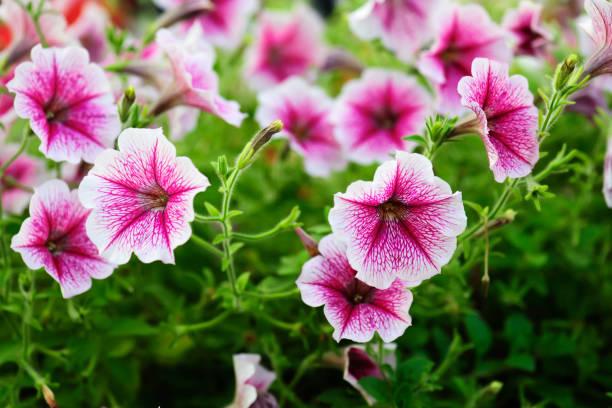 Petunienblüten, die im Sommer bunt sind – Foto