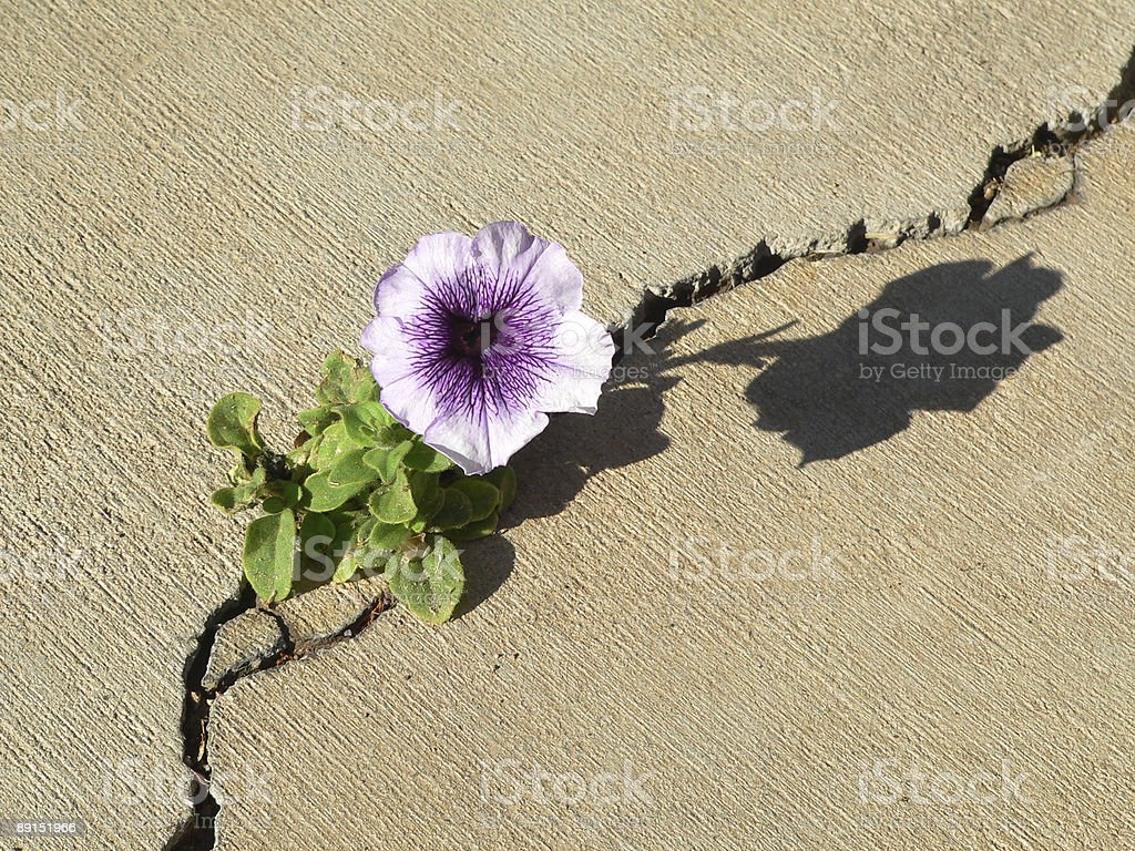 Petunia growing through crack in the concrete stock photo