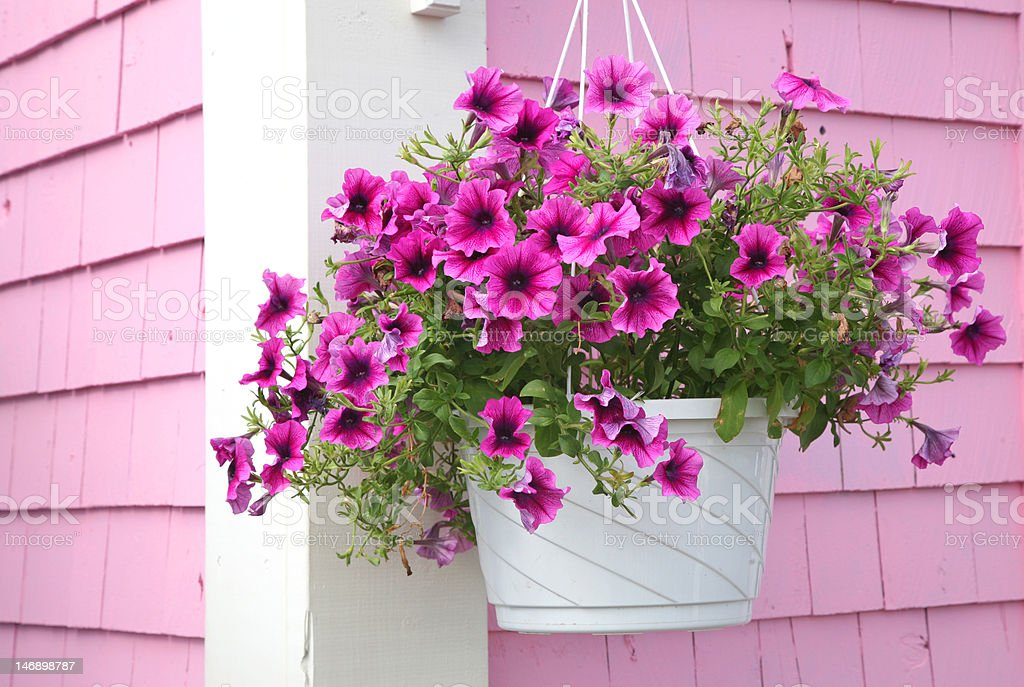 Petunia Hanging Basket stock photo