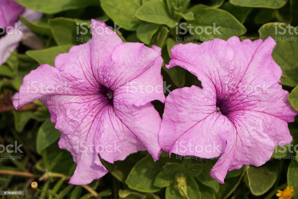 petunia hybrida flower royalty-free stock photo