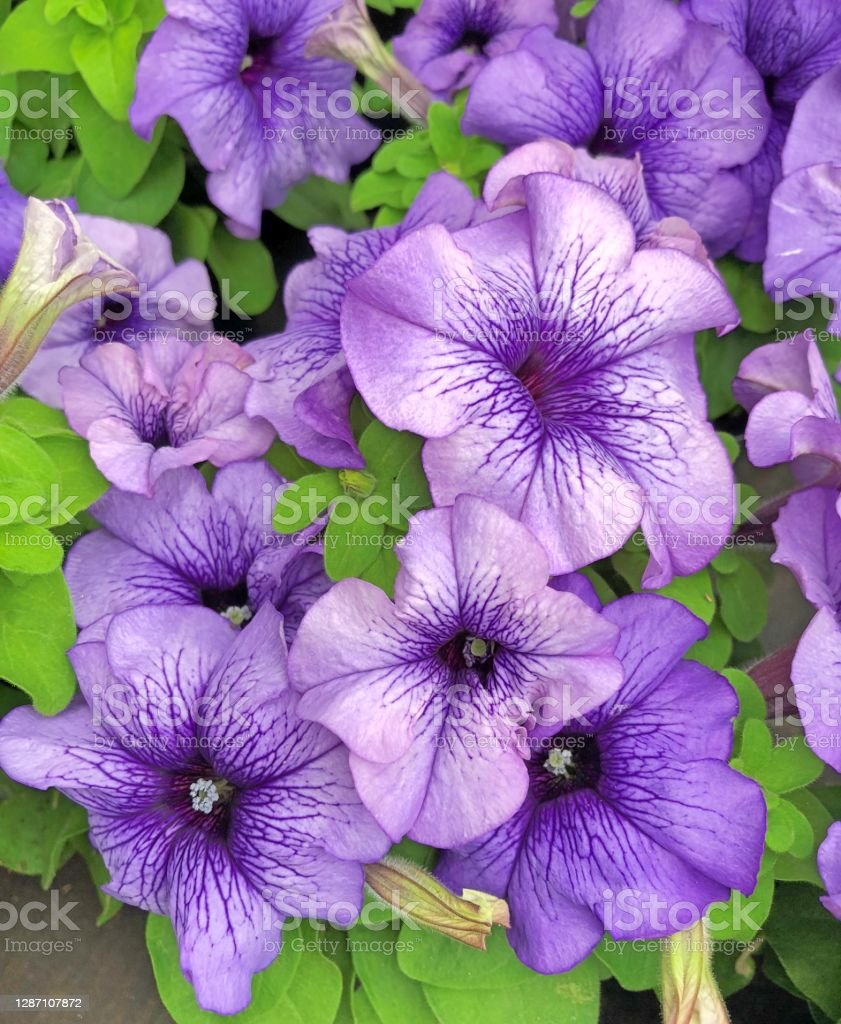 Petunia Million Bells flowers Violet blue Petunia Million Bells flowers with bright green leaves Backgrounds Stock Photo