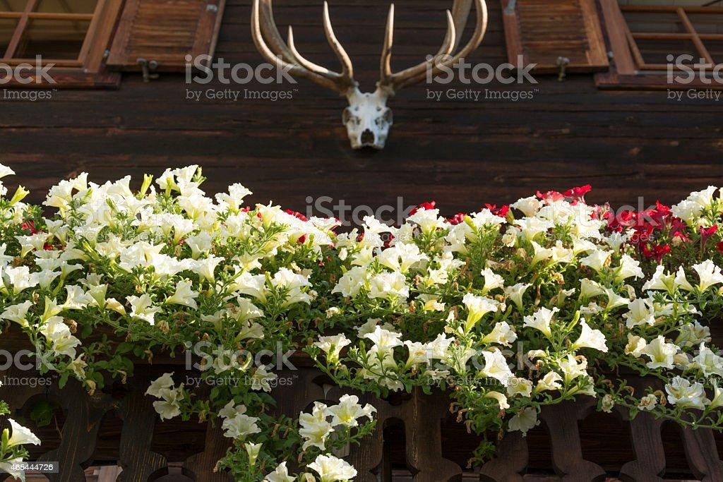 Petunia on a balcony, Tirol Austria stock photo