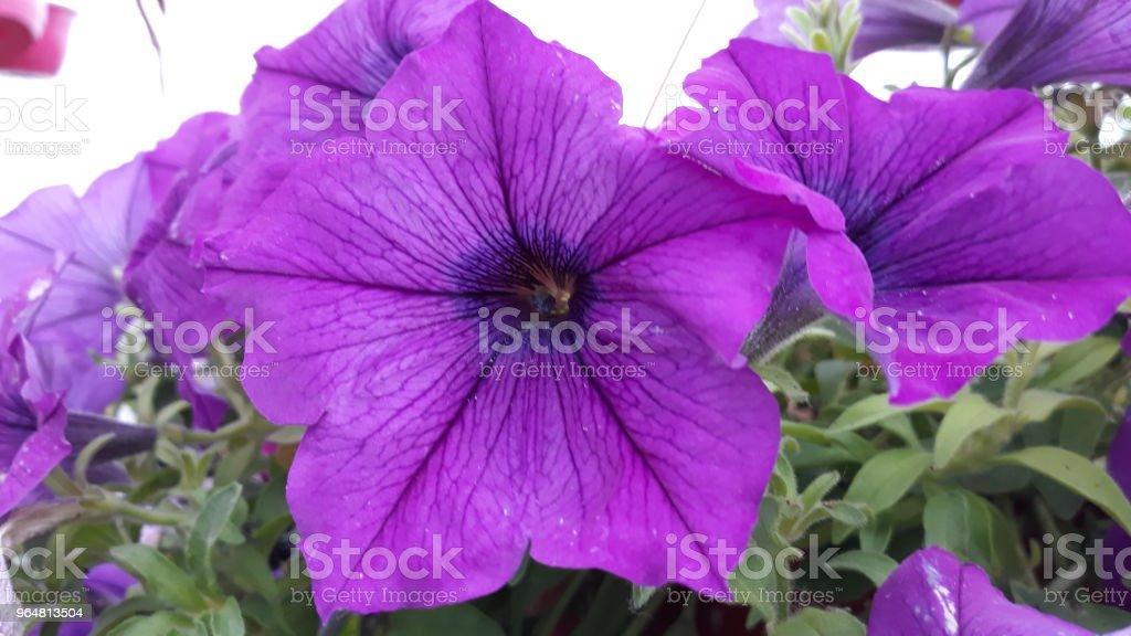 Petunia royalty-free stock photo