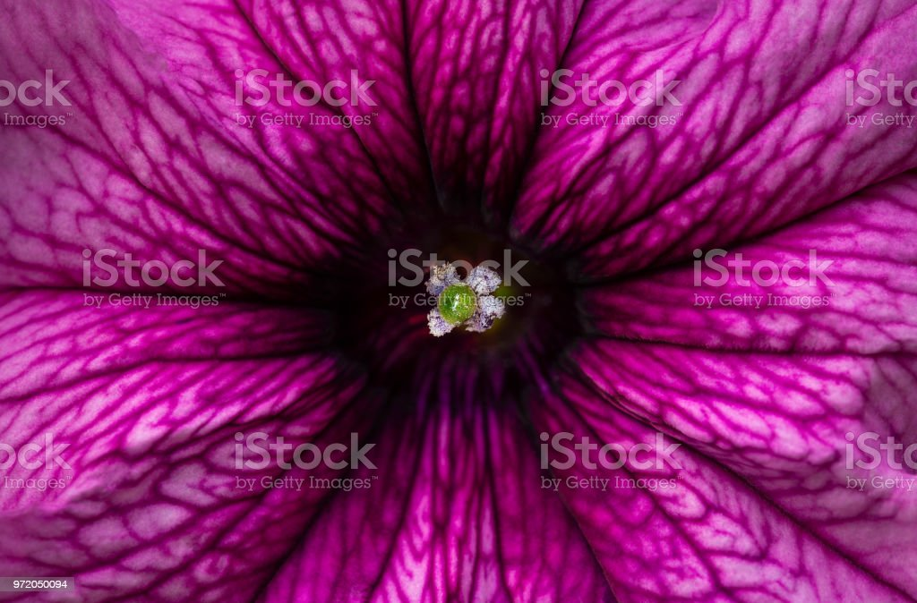 Petunia. stock photo