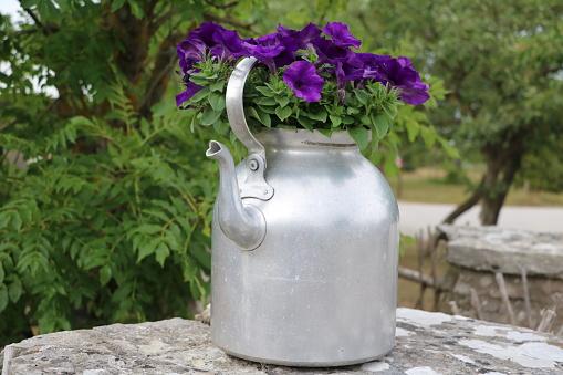 Petunias in a coffee pot