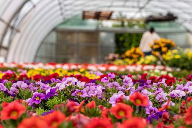 petunias in a nursery - оранжерея стоковые фото и изображения