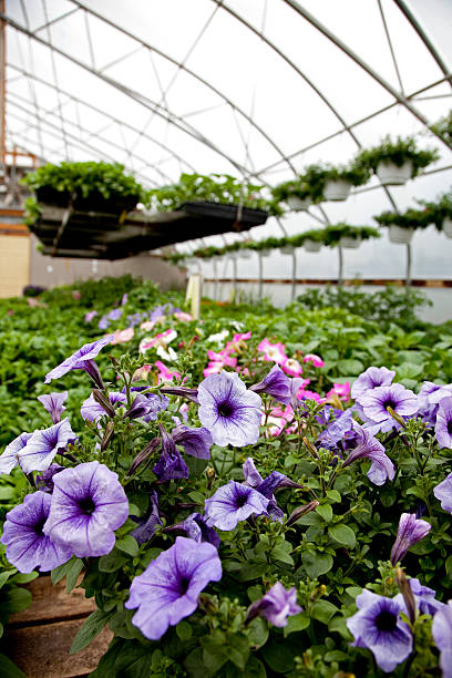 petunias in greenhouse - spring stock photos and pictures