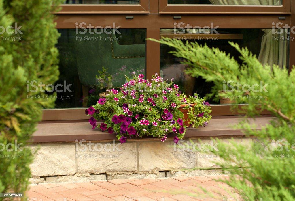 petunias on the window stock photo