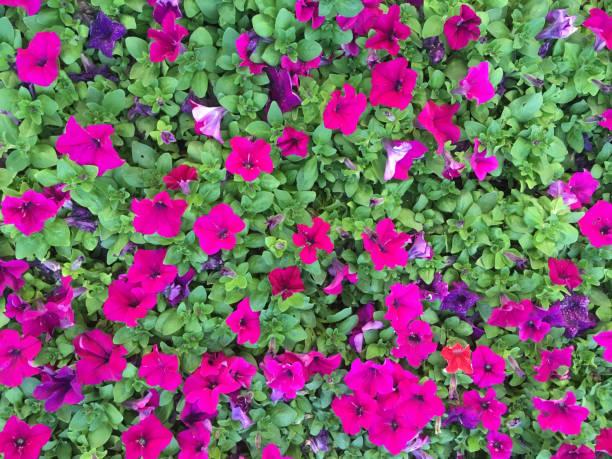 Petunias stock photo