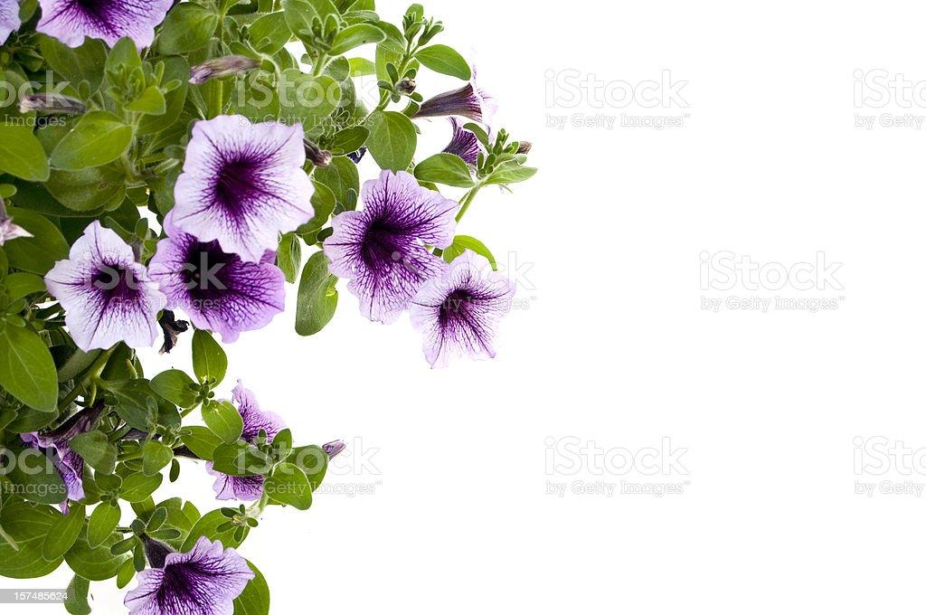Petunias royalty-free stock photo
