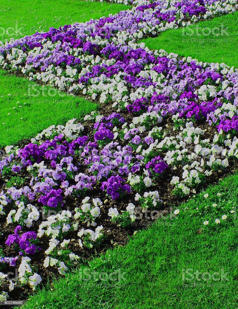 Petunias, purple and white stock photo