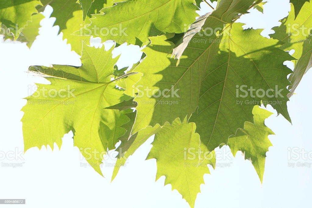 Peulratanaseu leaves stock photo