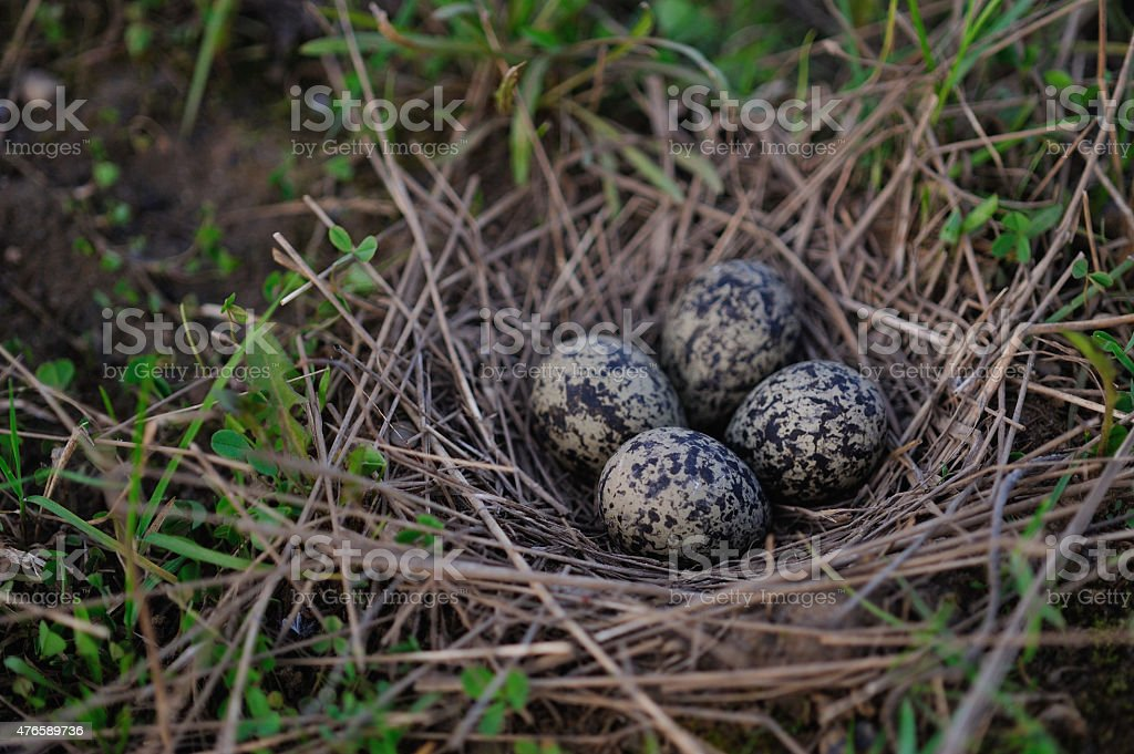 Pewits eggs stock photo
