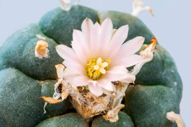 Peyote cactus with flower stock photo