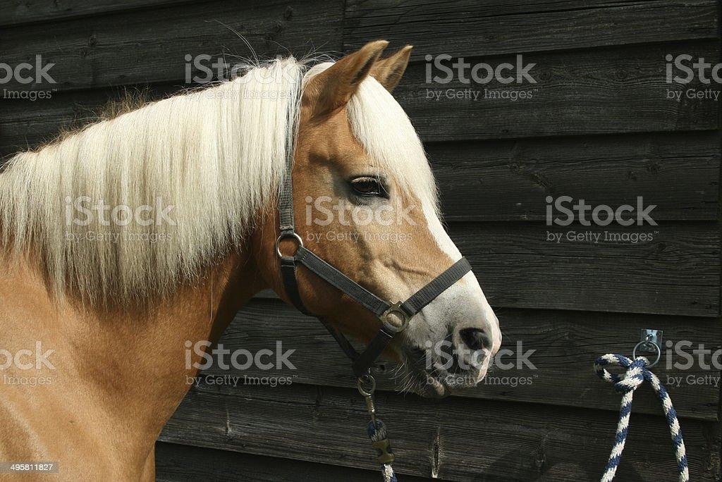 Pferd angebunden stock photo