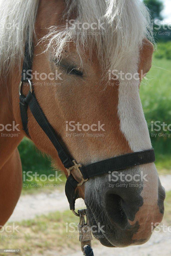 Pferd mit Halfter stock photo