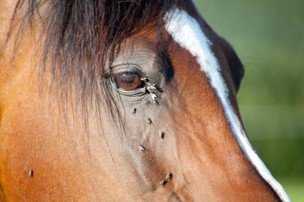 Pferd mit vielen Fliegen am Auge stock photo