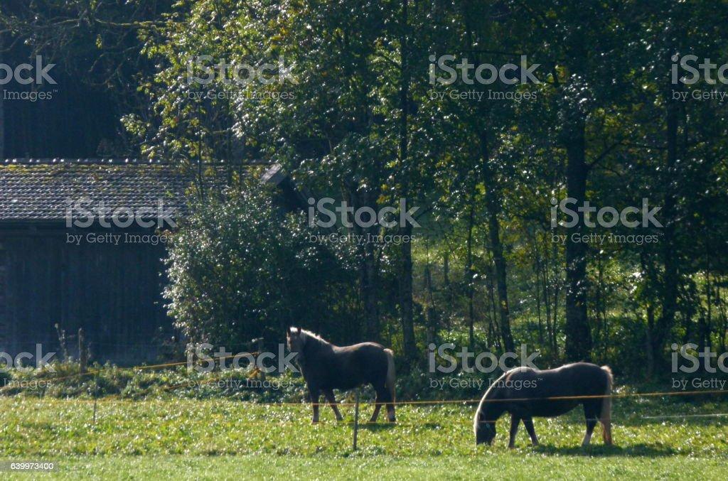 Pferde auf der Weide 1 stock photo