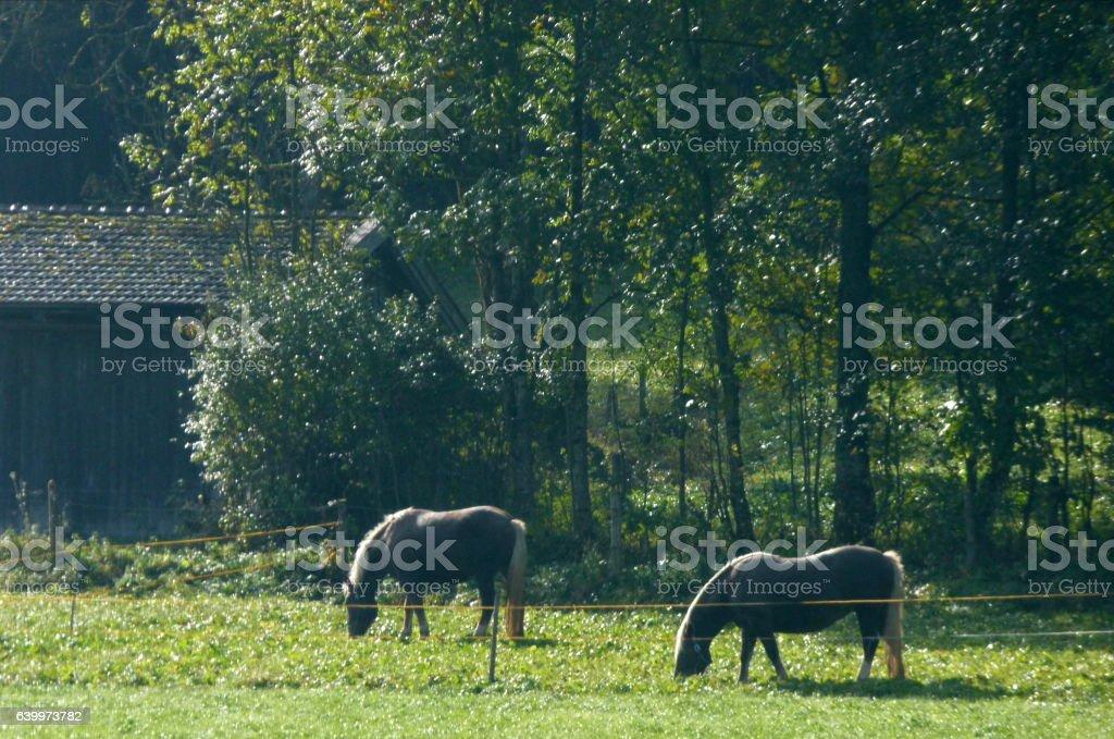 Pferde auf der Weide 2 stock photo